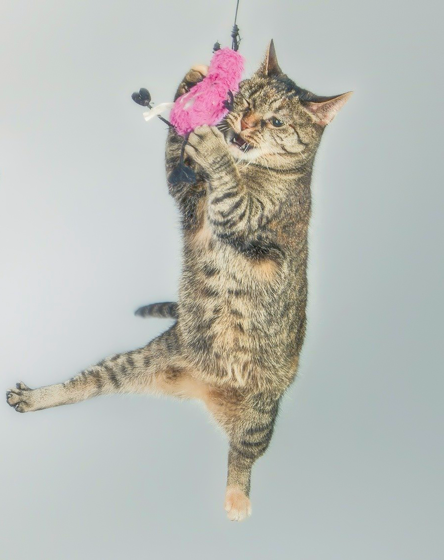 Tabby cat leaping up to catch flying toy