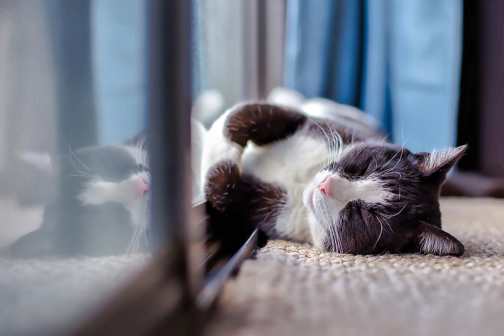 Black and white cat asleep by a window
