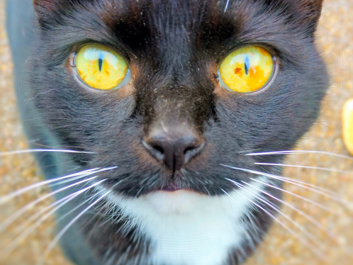 Do Cats Use Their Purr to Manipulate Us?