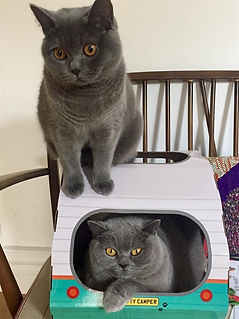 Two grey british shorthair cats one sitting on a vw camper box the other sitting in the box