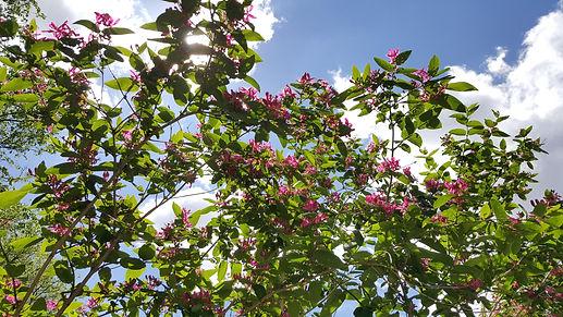 Tartarian honeysuckle tree
