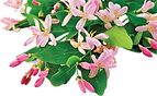 Pink Tatarian honeysuckle