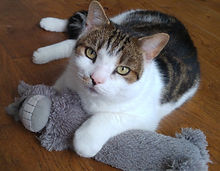 Tabby cat holding valerian cat toy
