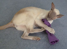 Siamese cat playing with cat toy