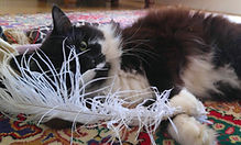Black and white cat playing with ostrich feather