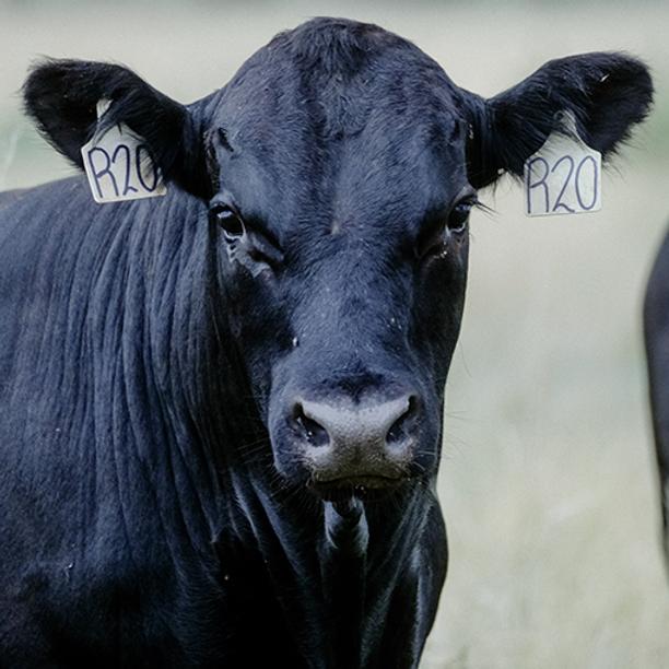 Annual Bull Sale