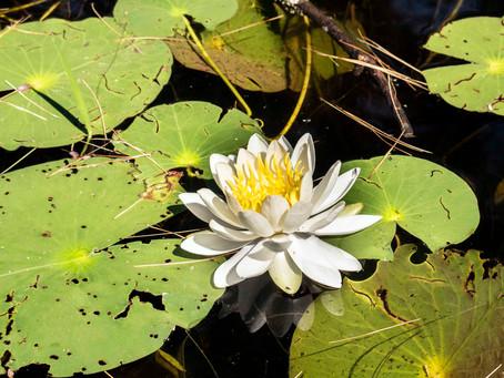 White Water Lilies (Nymphaea odorata)