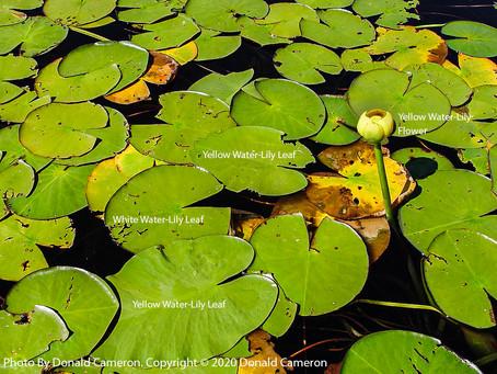 Yellow Water-Lily (Nuphar variegata)