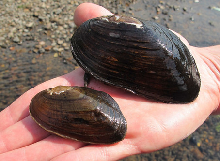 Native Fresh-Water Mussels