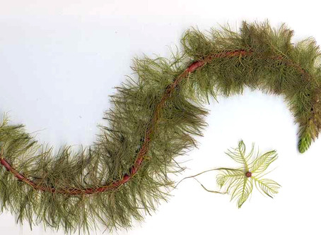Variable Milfoil - Exotic