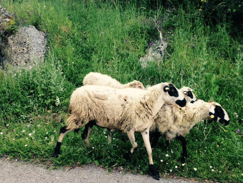 Moutons Corfou