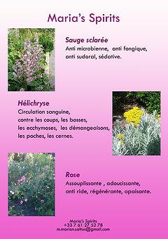 Plantes helichryse sauge....jpeg