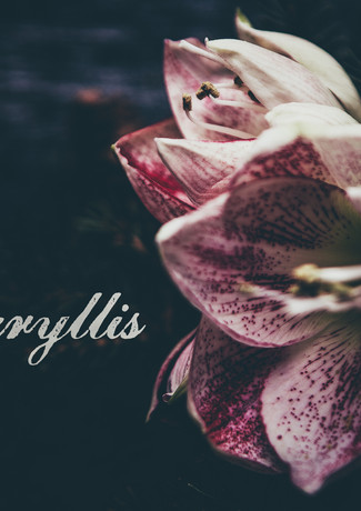 Amaryllis-rosa_veldkamp-1-2.jpg