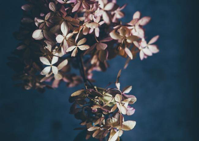Dried hydrangeas-rosa_veldkamp-1.jpg