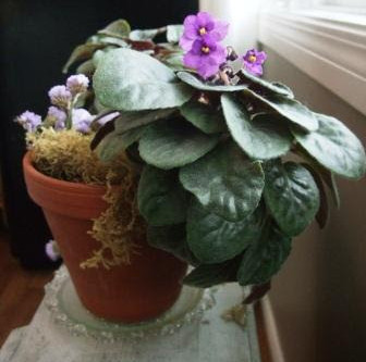 African Violets. . . Solace On A Snowy Spring Morning