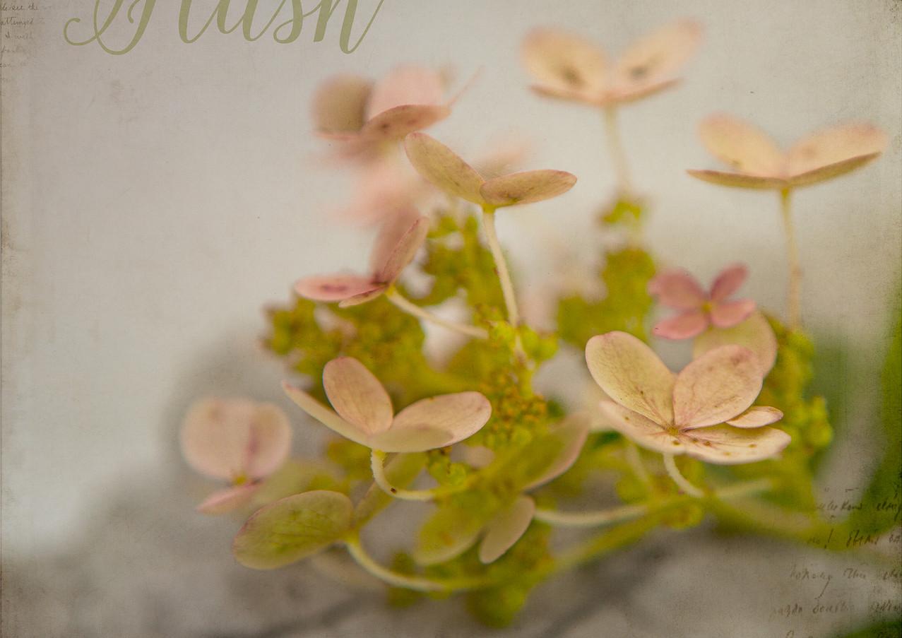 hydrangea concret leaf hush-1.jpg