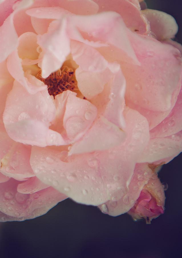 pink rose rain drops-Rosa_veldkamp-1.jpg
