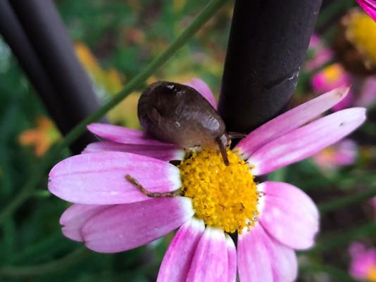 A Daredevil Slug.