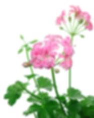Pelargonium_SugarBaby.jpg