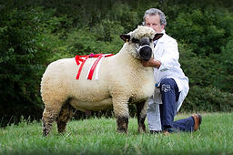 Greenlands shearling ram 700gns champ Wo