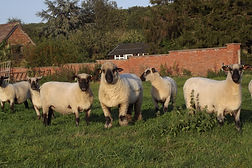 Gorse ewes and Greenlands Roland Sept 19