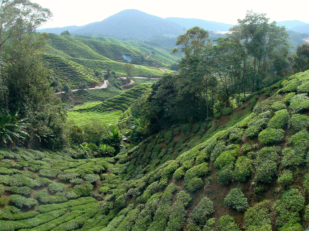 Cameron Highlands Malaysia BOH tea plantation
