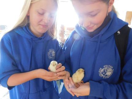Chicks going cheep