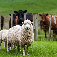 Sheep-and-cows.jpg