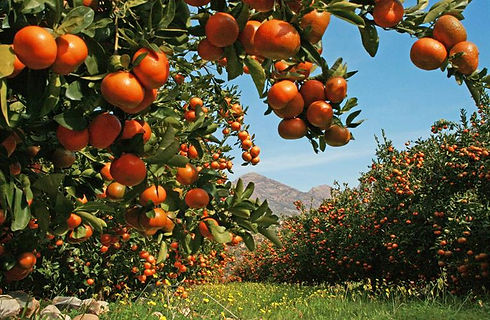 south-africa-afourer-citrus-grove.jpg