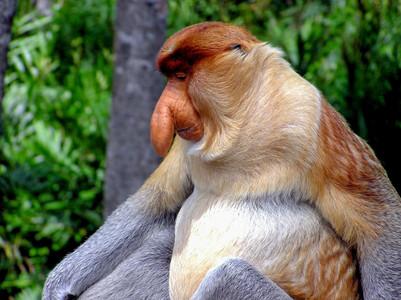 proboscis-monkey-2422095_1920.jpg