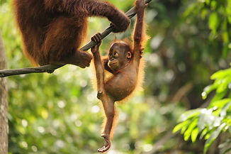 Baby Orangutan Playing