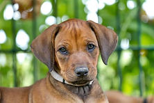 Rhodesian Ridgeback - Red Kosi - Inja in der driten Woche - Puppy - Welpe