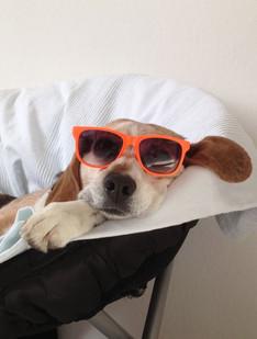 Beagle mit Sonnebrille