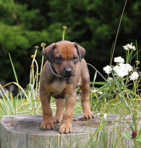 Rhodesian Ridgeback - Red Kosi - Inja in der ersten Woche - Puppy - Welpe