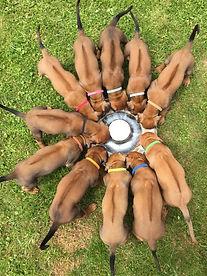 Rhodesian Ridgeback - Red Kosi - Inja in der zweite Woche - Puppy - Welpe