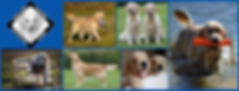 Midland Golden Retriever Club Photo .png