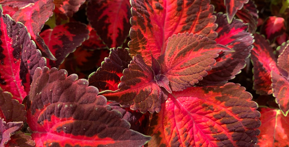 Coleus - Kingswood Torch