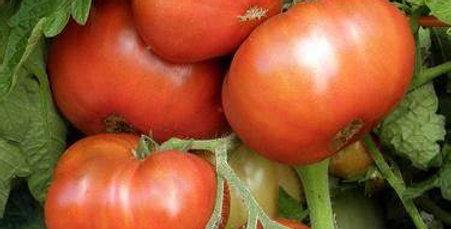 Tomato - Tasmanian Chocolate