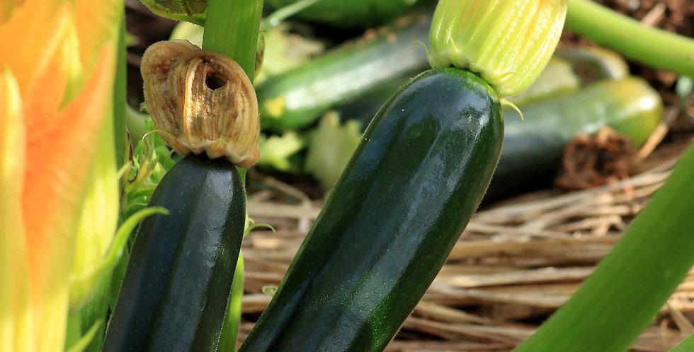 "Squash -Zucchini ""Black Beauty"""