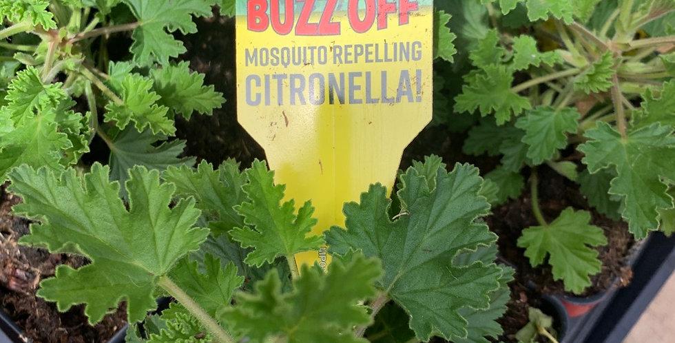 Citronella Geranium
