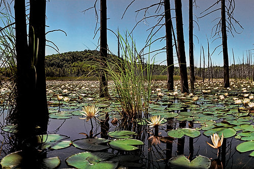 Yellow Water Lilies and Panther Mountain
