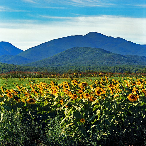 Sunflowers and MacIntyre Range