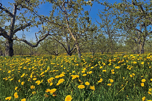 Dandelions and Apple Trees
