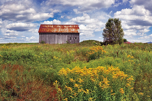 Barn and Goldenrod