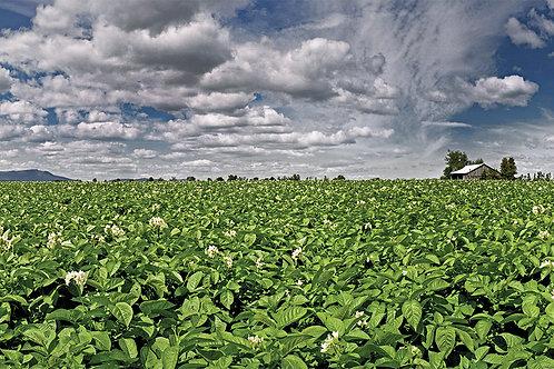 Potato Field- Norman's Ridge