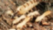 termites 5.jpg
