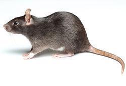 rat image.jpg