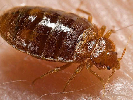 Facts About Bedbugs