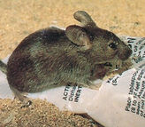 house-mouse1.jpg