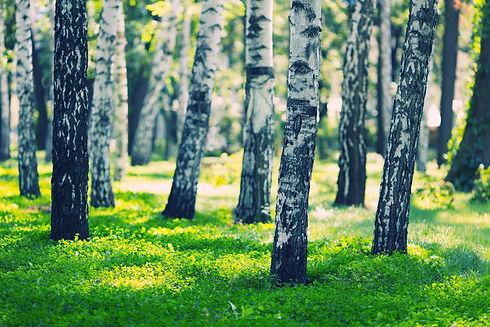 white-birches-forest-PPAF4TE.jpg